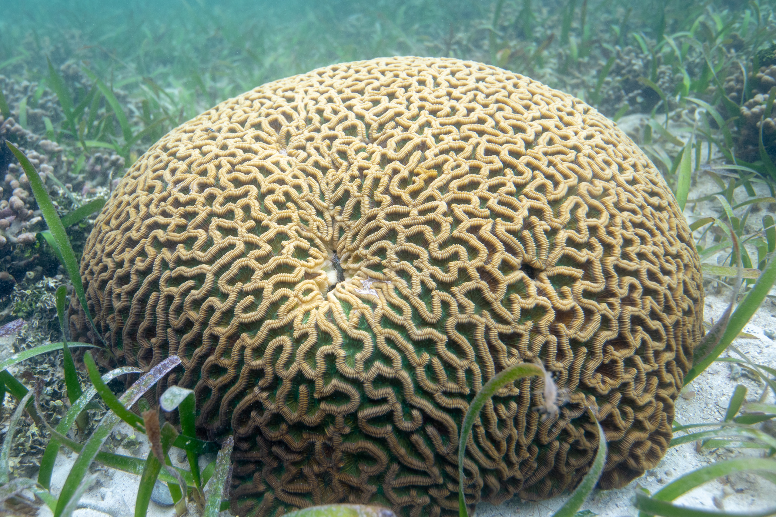 In an unlikely phenomenon, large corals are growing several meters into the mangrove forests in Bocas del Toro, even changing their shape and color as they do, such as this brain coral.