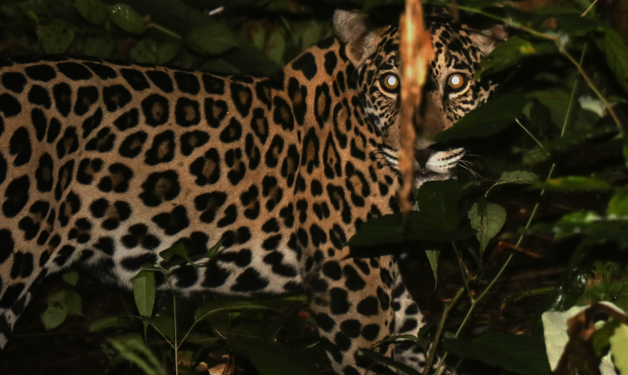 First Jaguar in Panama Fitted with GPS Transmitter