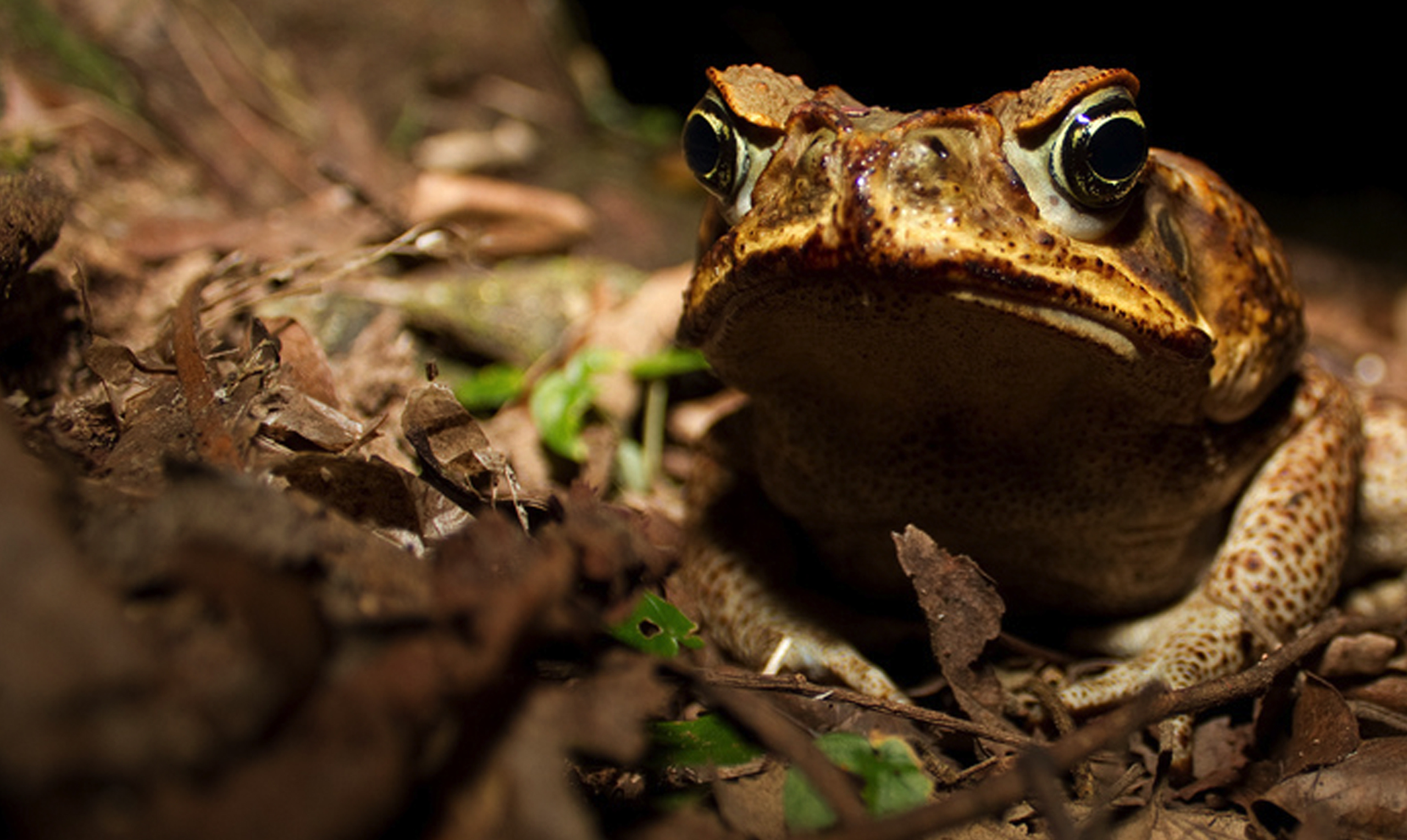 Frog Toxins For Medicine Smithsonian Tropical Research Institute