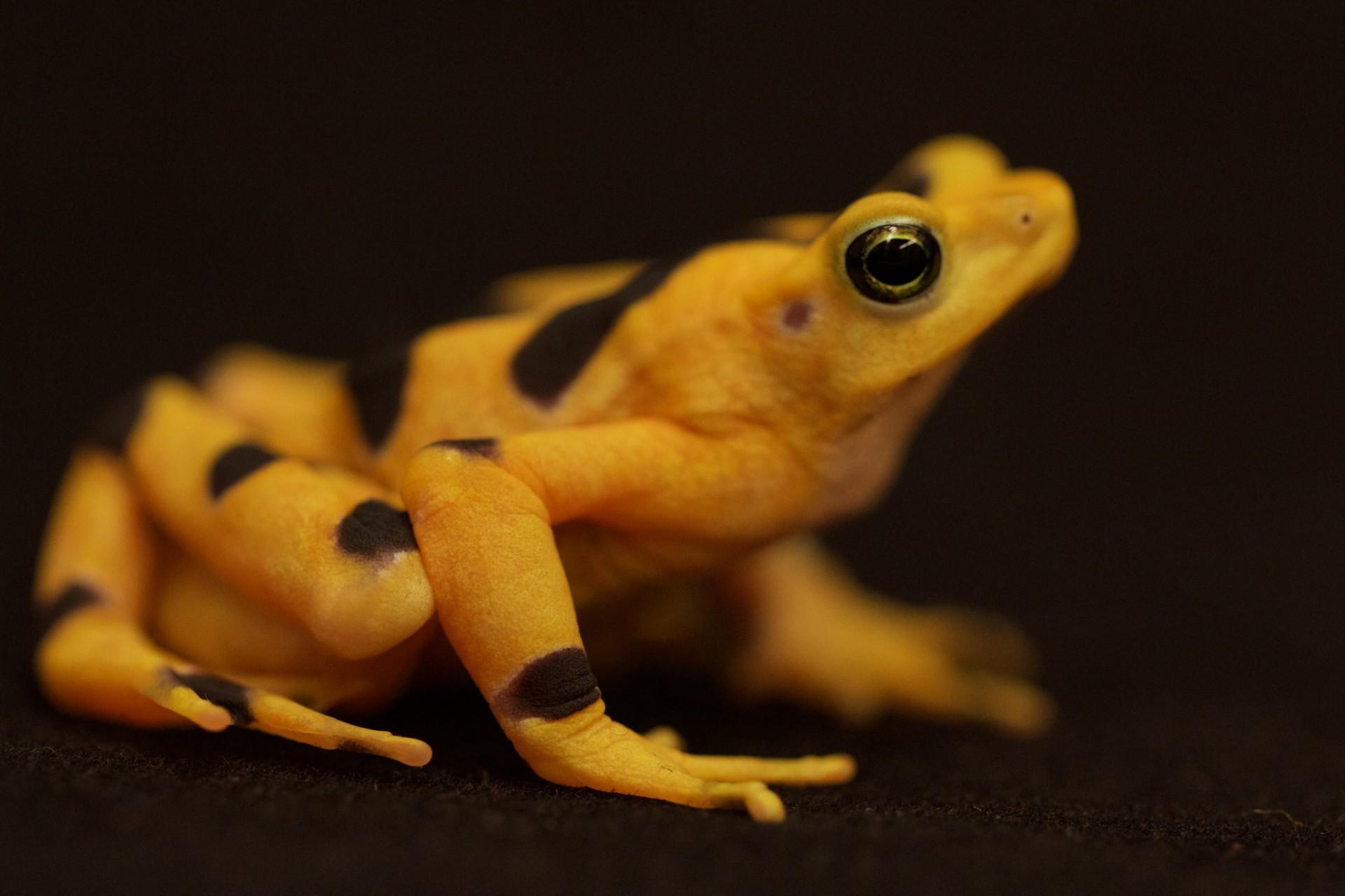 Golden frog skin