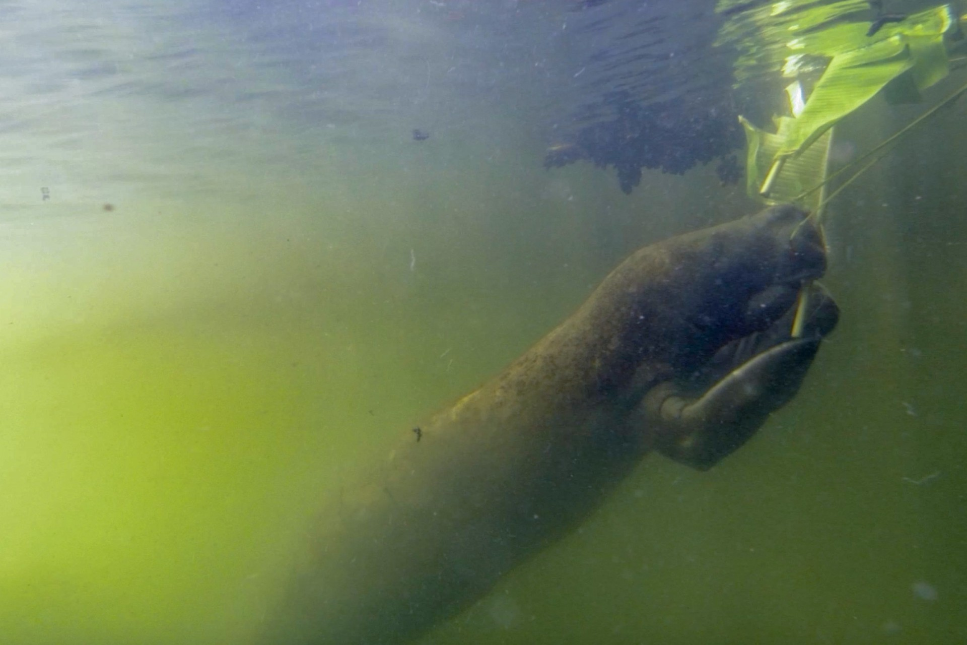 Underwater Manatee chatter may aid in their conservation