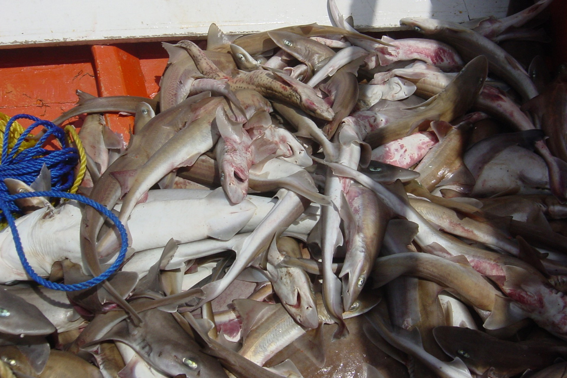 Fishing exclusion zones to help manage shark populations in Pacific Panama