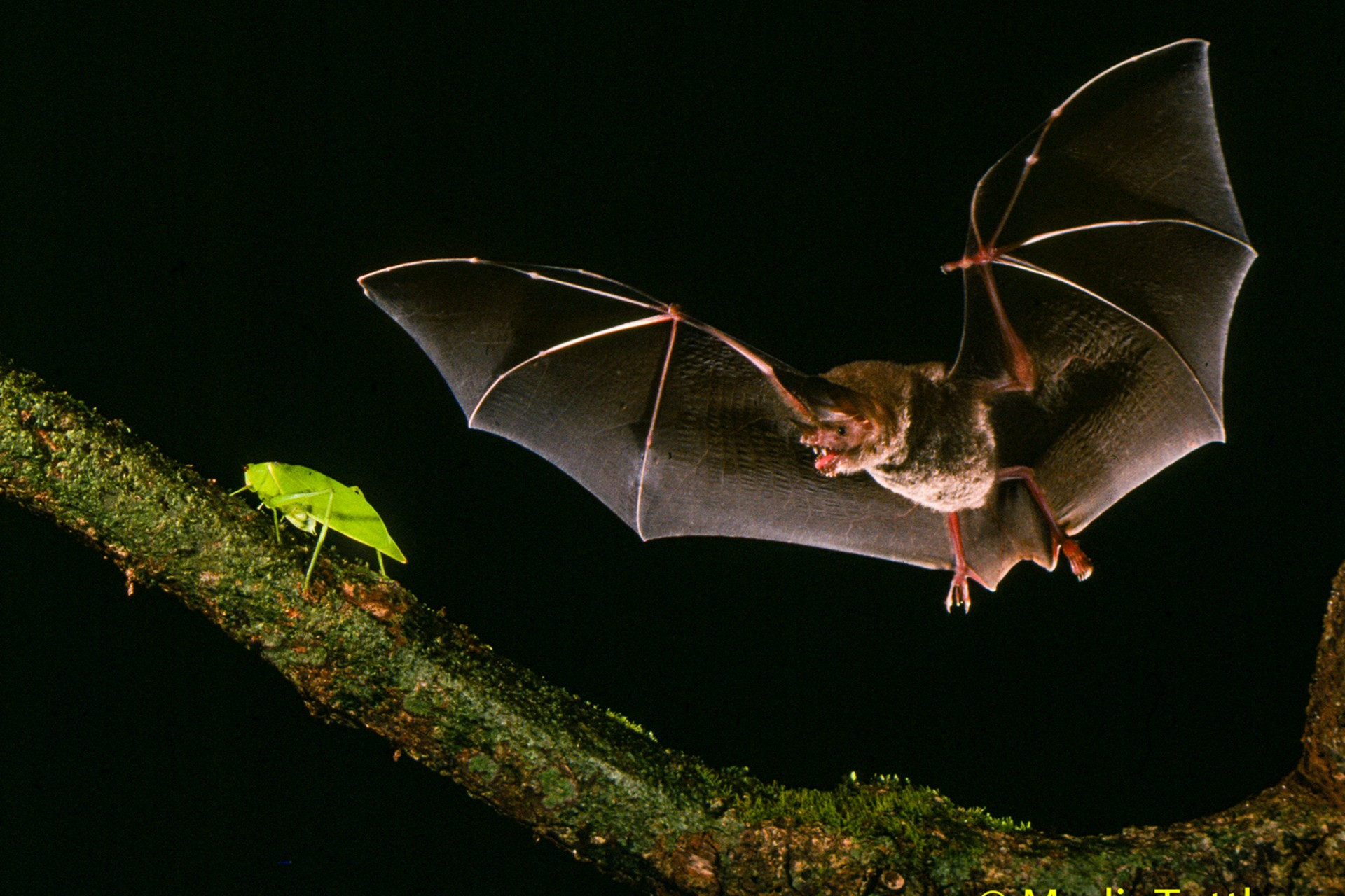 The fringed-lipped bat, Trachops cirrhosus learns the signals that identify good prey species