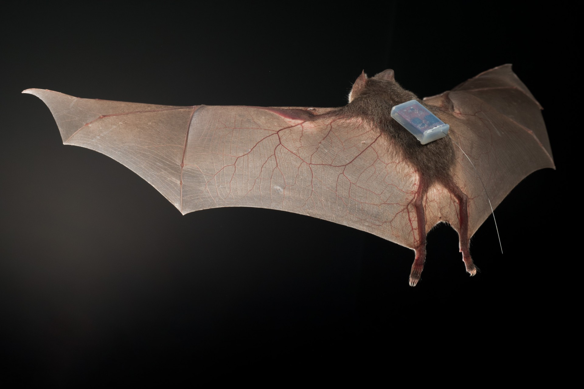 Vampire bat bonding persists from the lab to the wild