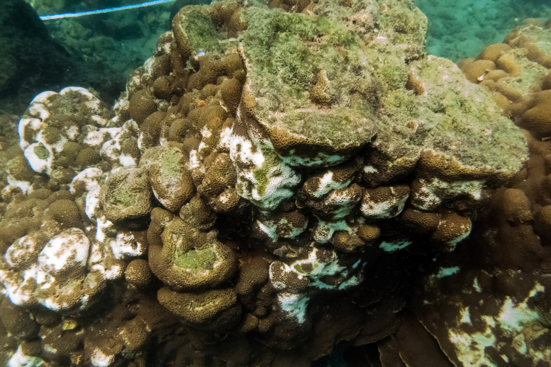 Gardineroseris planulata coral