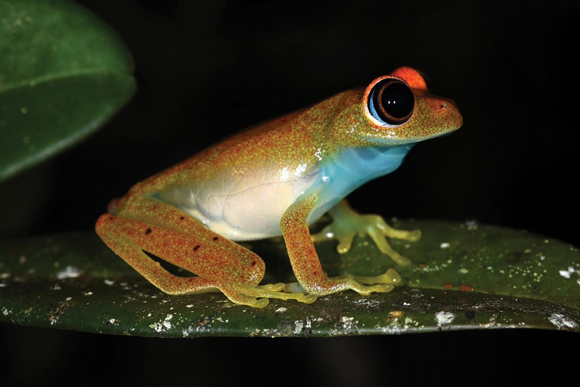 Boophis viridis, Green bright-eyed frog, endemic to Madagascar