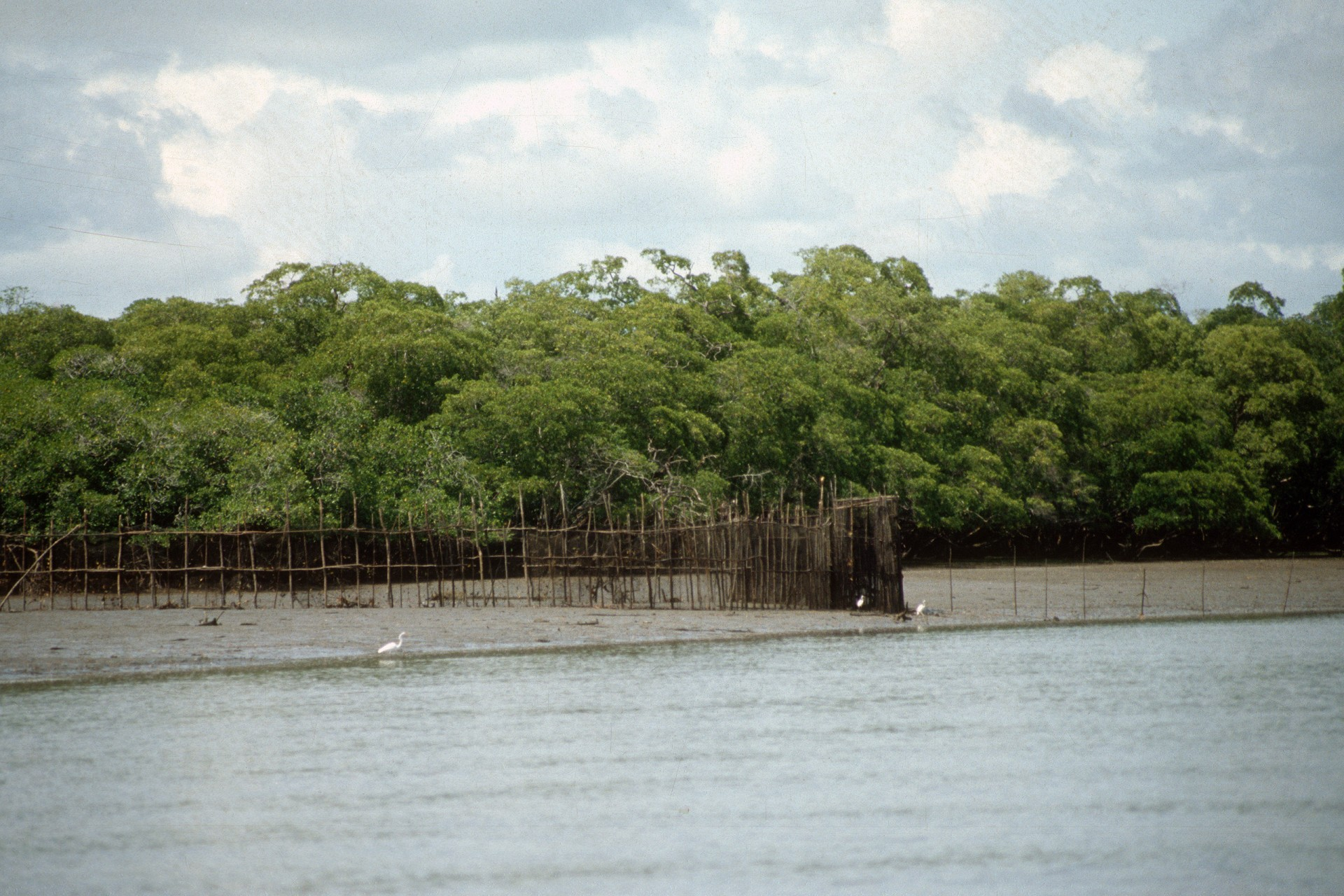 "An intertidal barrier trap, known locally as an ""atajo,"" in a small estuarine inlet (Estero Palo Blanco) near Aguadulce, Coclé, Panama, 1991"