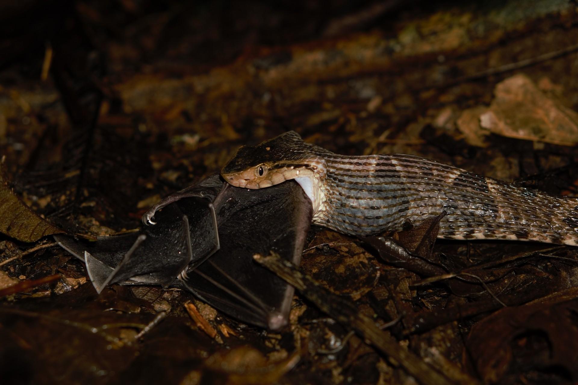 Venomous Snake Captures Frog-eating Bat