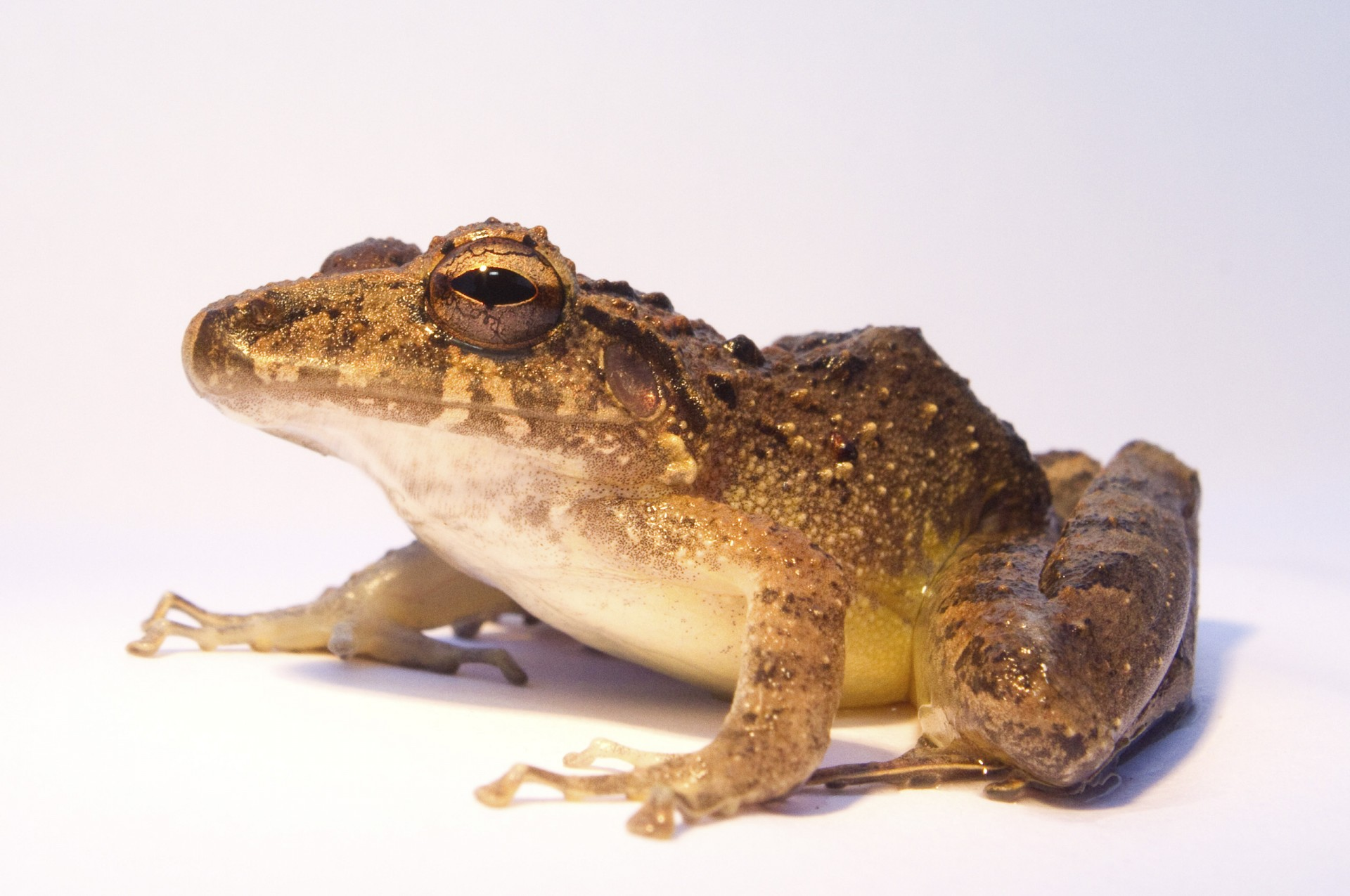 Amphibian pharmaceuticals