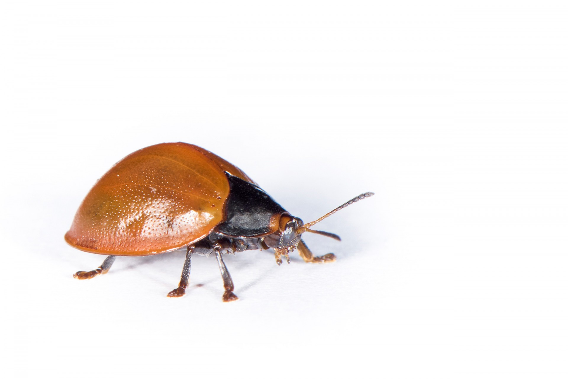 Mysteries of a golden beetle