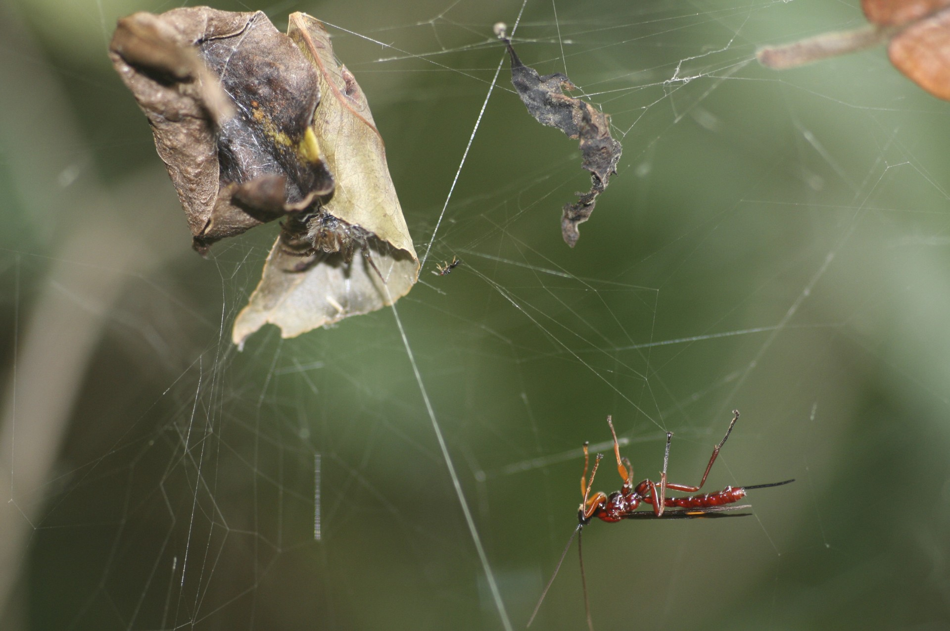 A wasp getting ready to attack a spider