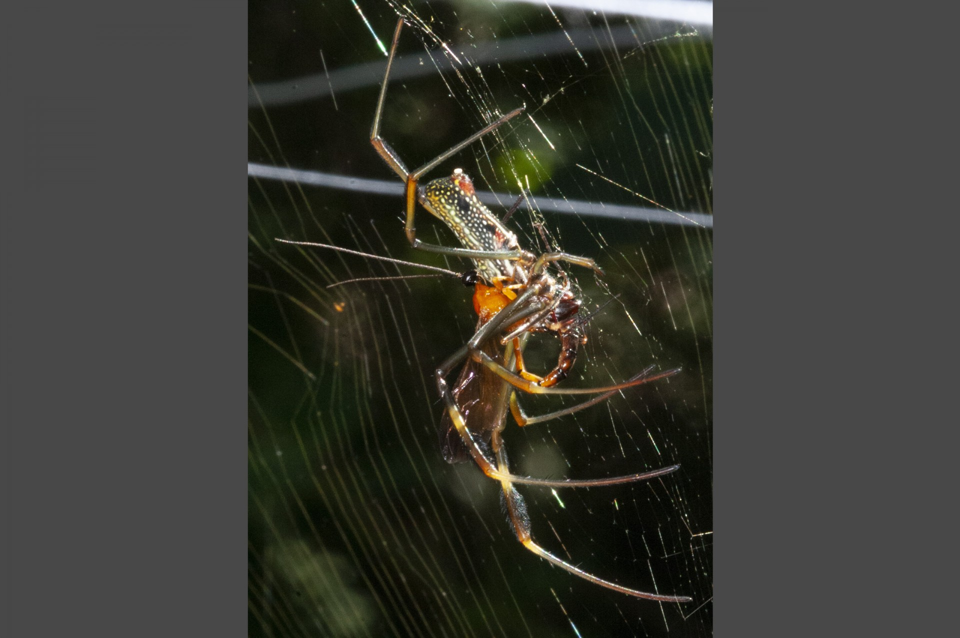 A wasp lays an egg on the spotted abdomen of its spider host