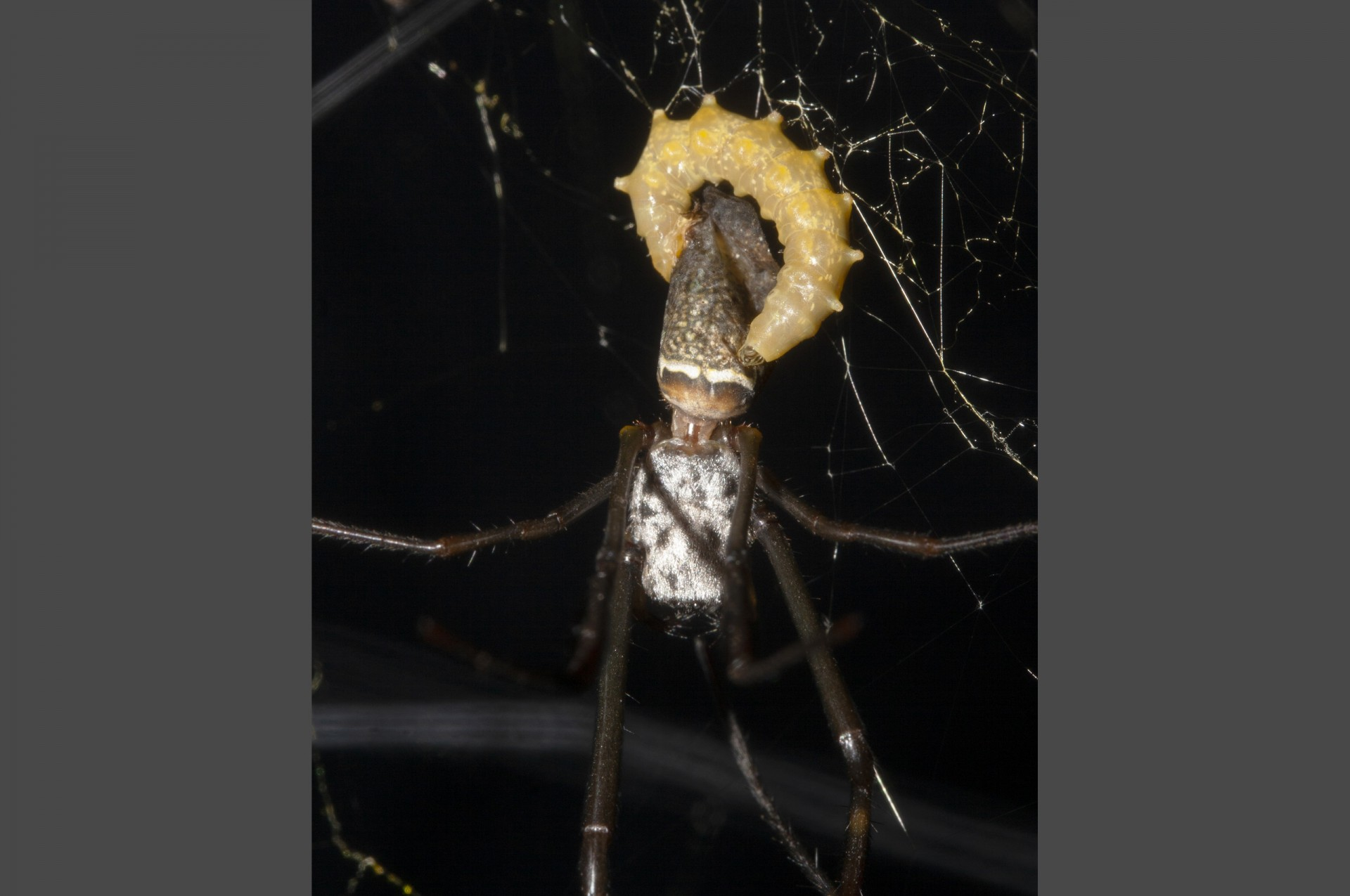 Now fully developed, the wasp larva proceeds to eat its host spider