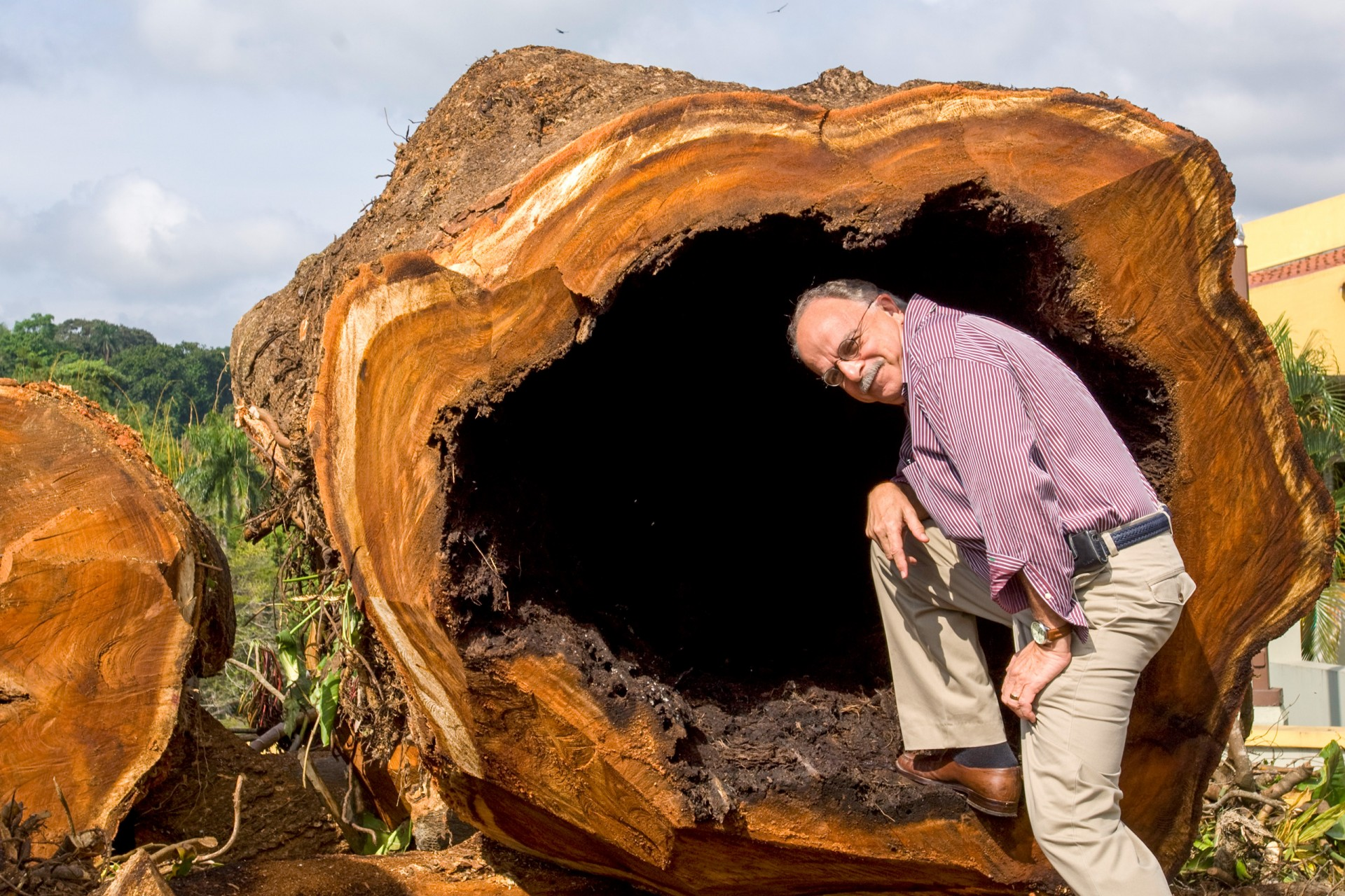 Ira Rubinoff stands inside a section of the felled corotú tree