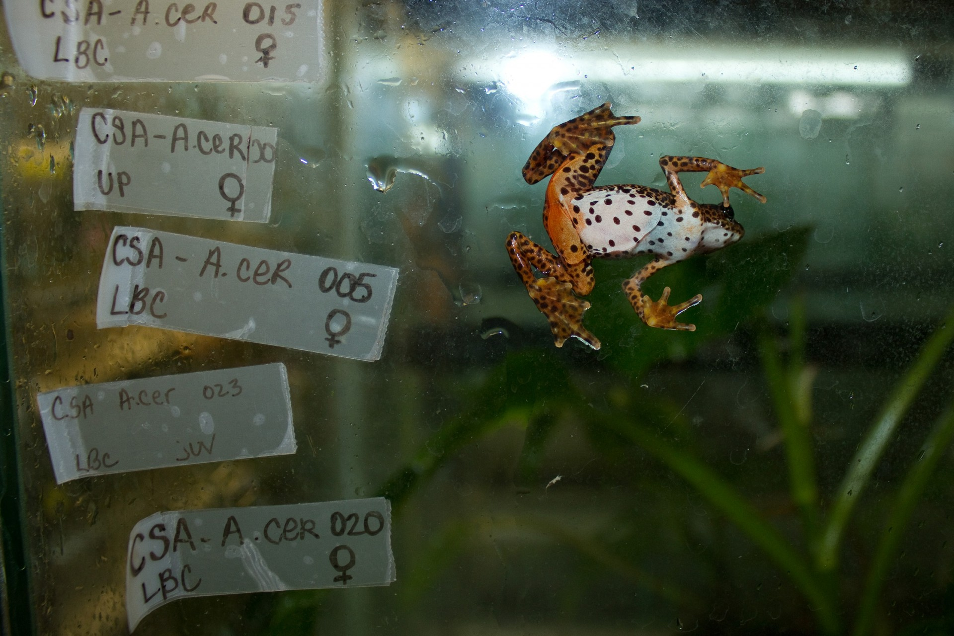 Atelopus certus is another example of a species