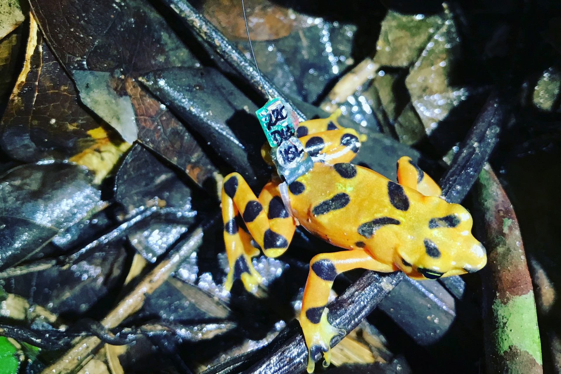 Atelopus varius carrying radio transmitter.
