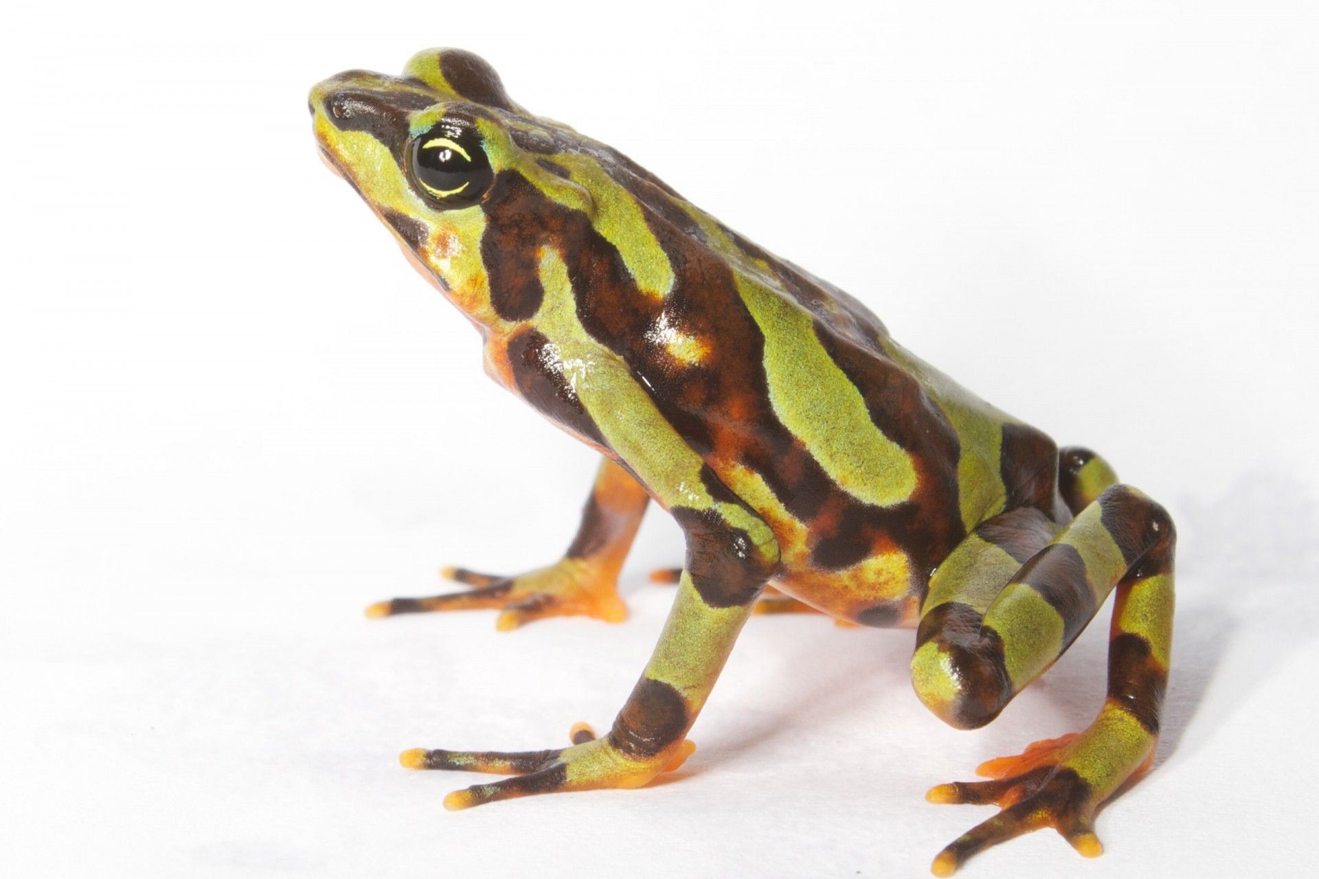 This Panamanian frog demonstrates a very wide range of color patters, thus its name, Atelopus varius