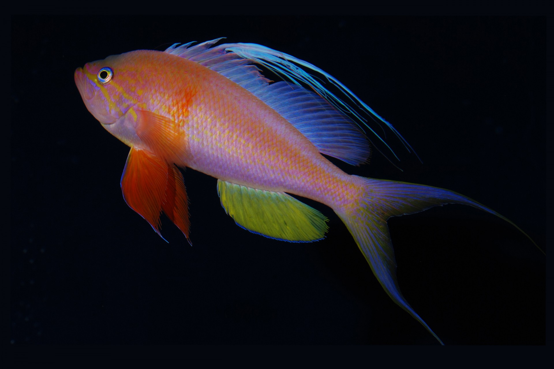 Baldwinella vivanos, one of STRI staff scientist D. Ross Robertson's favorite new fish species discovered in the rariphotic