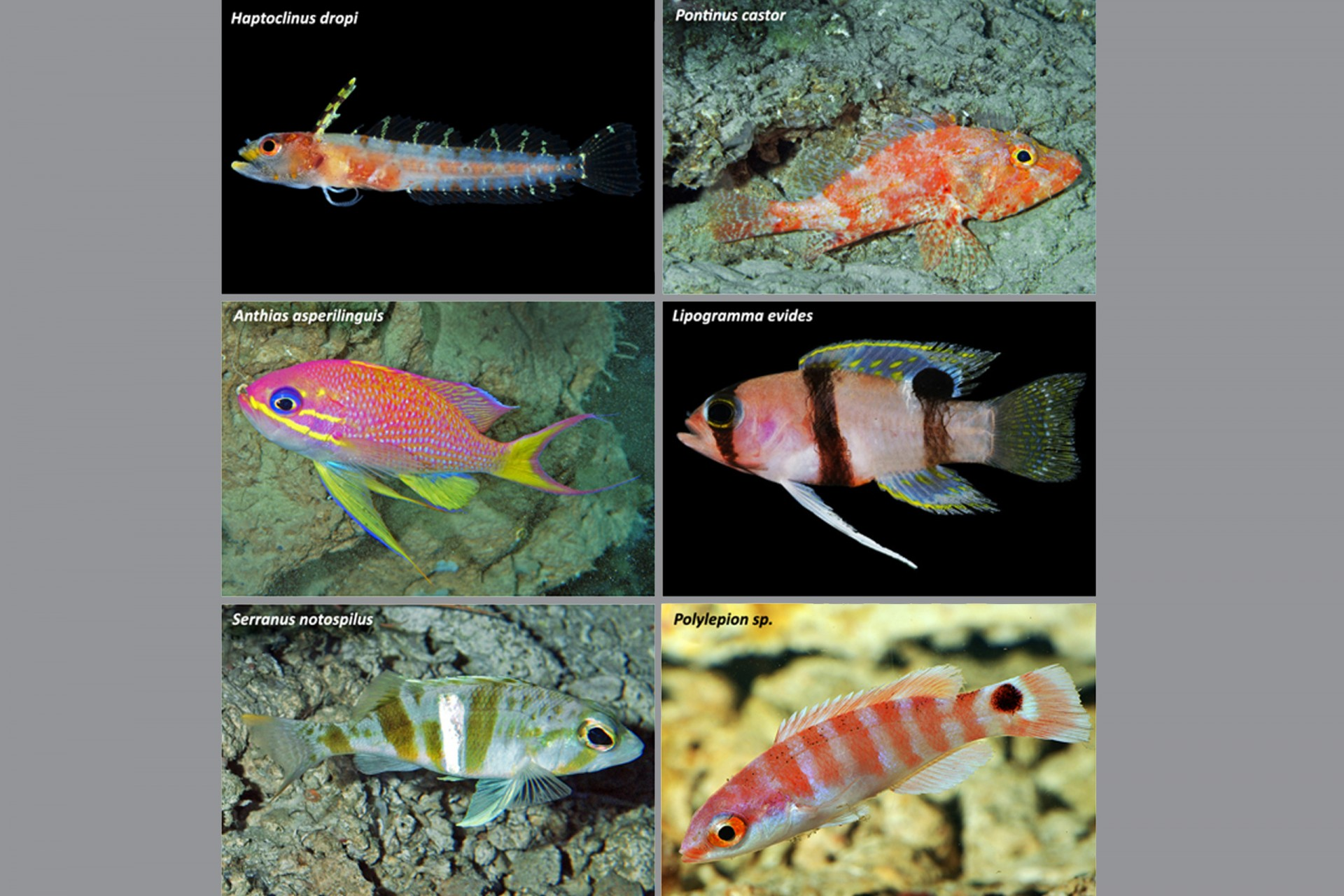 Representative Caribbean fishes inhabiting the rariphotic zone off Curaçao