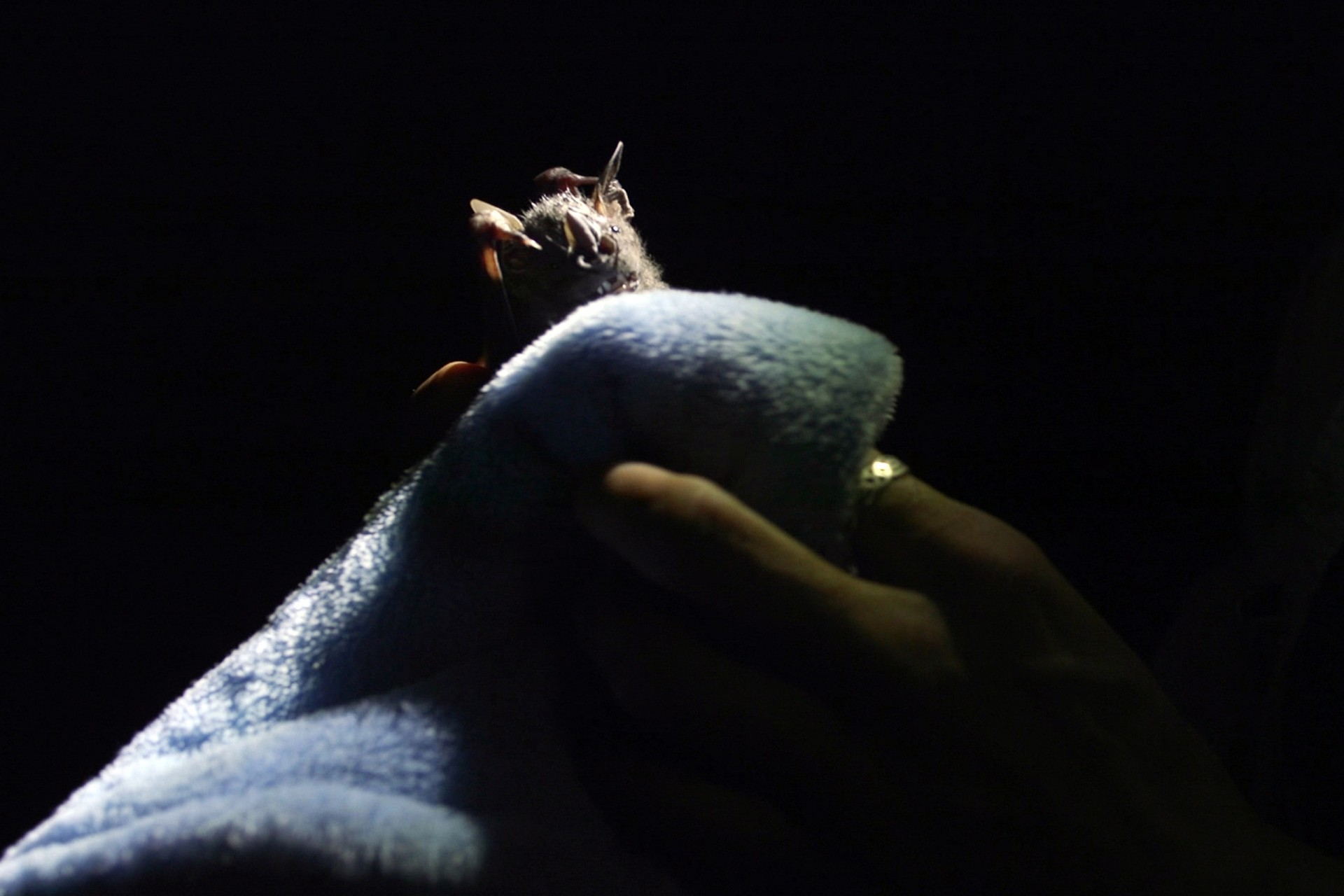 Are bats spying on their prey in the canopy?