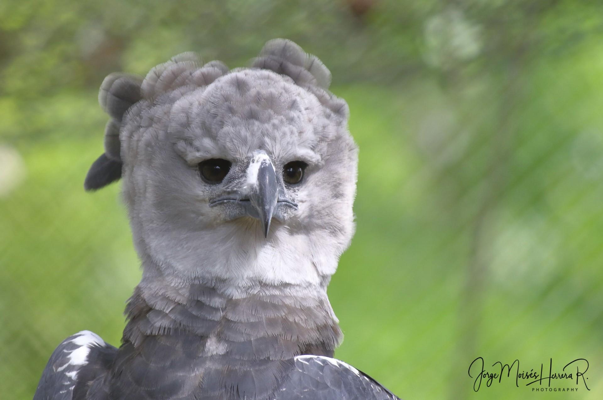 Save the Harpy Eagle 2019