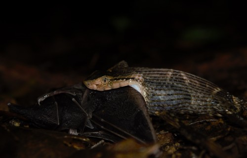 Venomous Snake Captures Frog-eating Bat