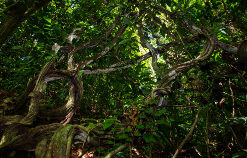 Lianas can suppress tree growth in young tropical forests for decades