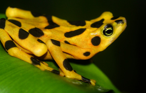 Panama's endangered golden frog gets help with breeding in captivity