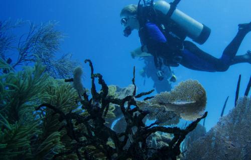 The caribean's declining reefs