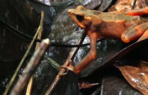Lessons From Amphibian Die-off in Panama