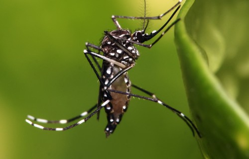 Tracking Aedes Mosquito Invasions in Panama