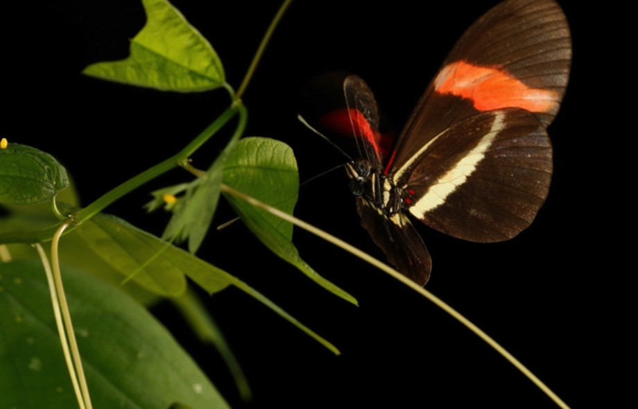 Butterflies take different paths to arrive at the same color pattern