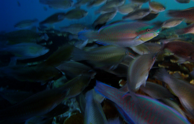 Coral reefs grow faster and healthier when parrotfish are abundant
