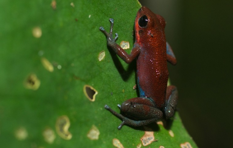 Imprinting on mothers may drive speciation in poison dart frogs